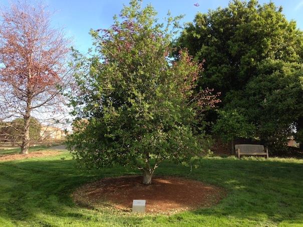 Дерево Стива Джобса в Pixar