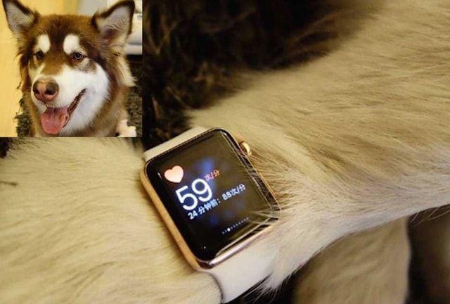 dog Wang Sicong, Apple Watch