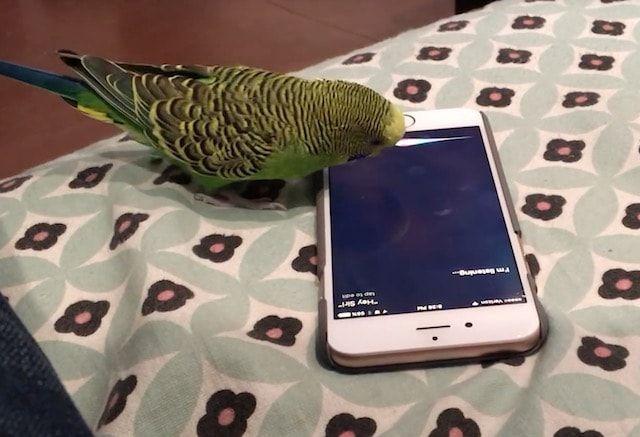 Волнистый попугайчик активирует голосом Siri на iPhone (видео)