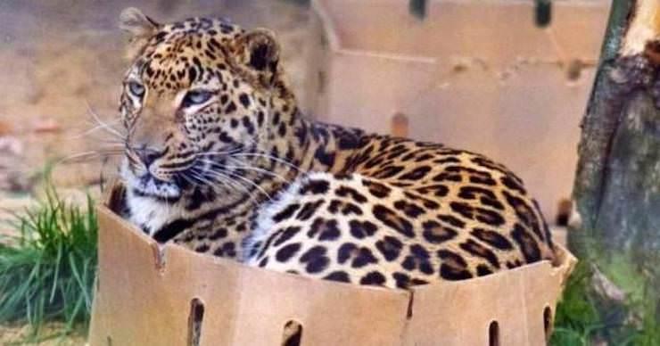 Тигр в коробке