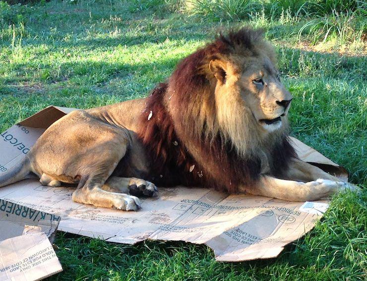 Лев в коробке