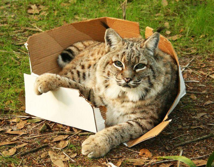 Рысь в коробке