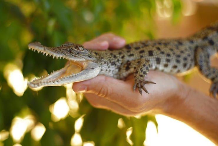 Мексиканский крокодил