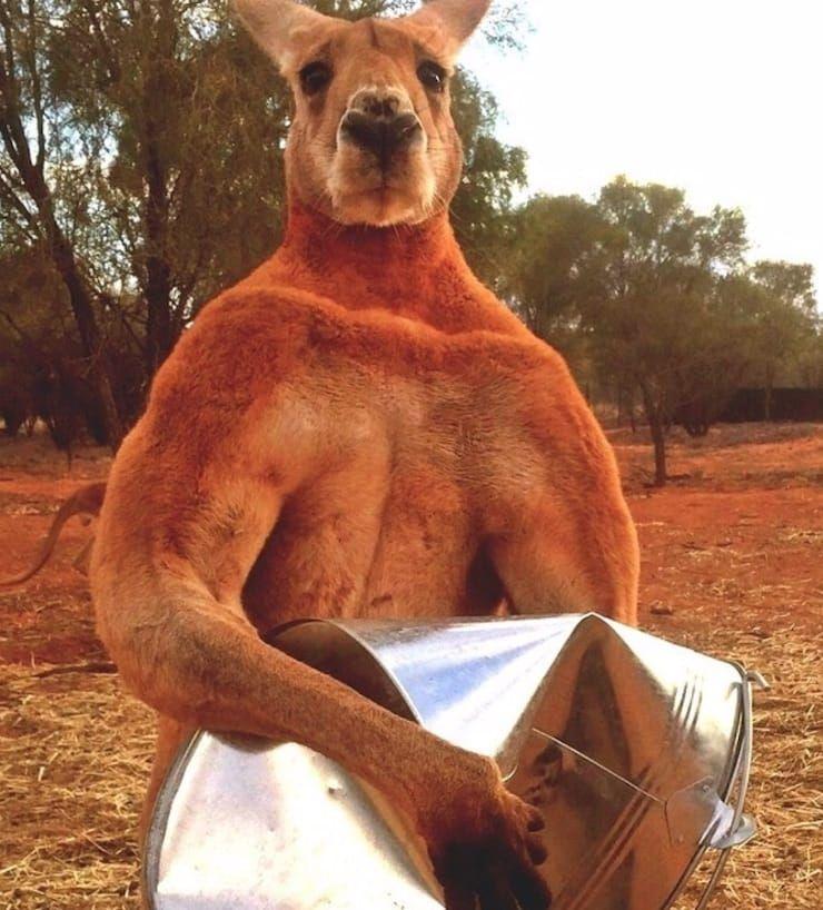кенгуру-культурист Роджер