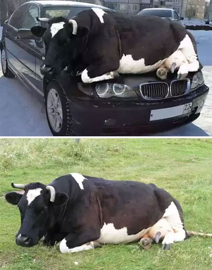 Лежащая на BMW корова