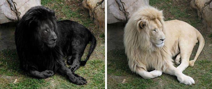 Уникальный черный лев
