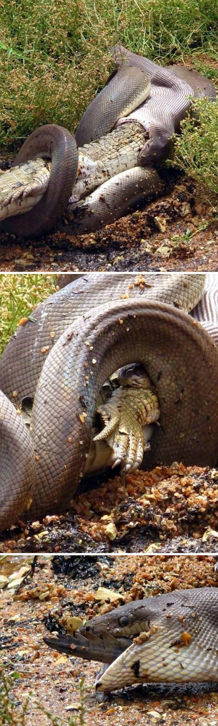 Оливковый питон съел крокодила