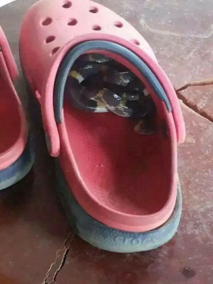 змея в обуви