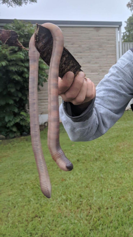 Земляной червь в Австралии