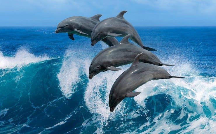 Дельфины –не рыбы и другие интересные факты об этих китообразных