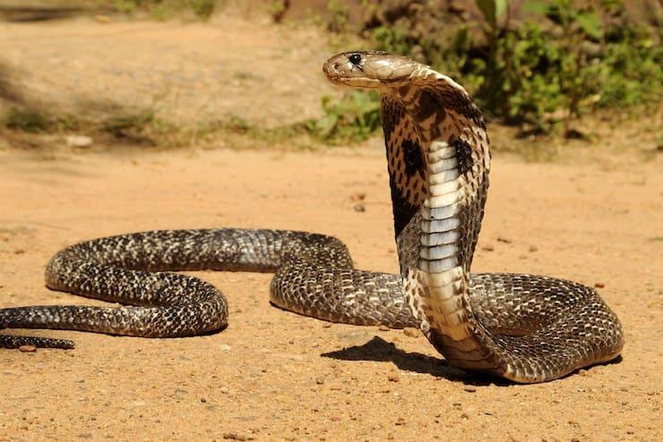 Что будет, если ядовитые змеи укусят друг друга?