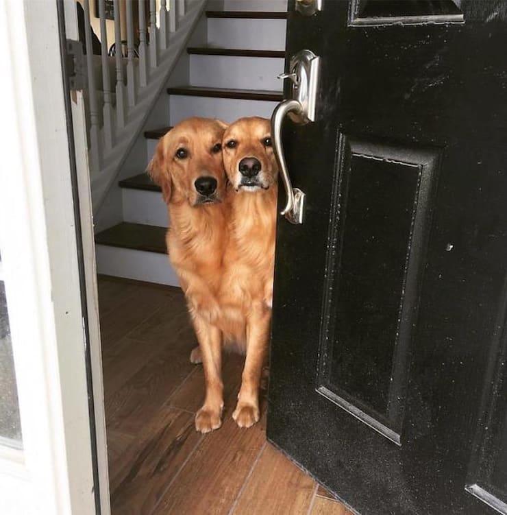Двухголовый пес