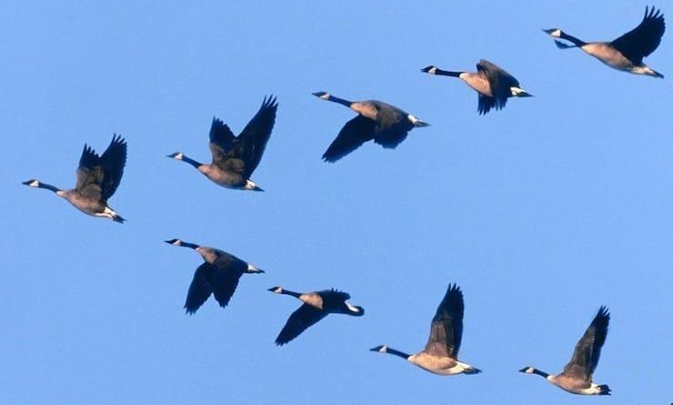 Откуда птицы знают, где юг?